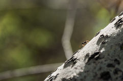 Ant. Crawling on tree in the spring forest royalty free stock photography
