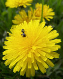 Ant on Dandelion Closeup. This ant was working hard to get to the nectar deep in the flower Royalty Free Stock Images