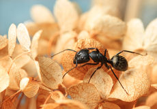 Ant on dried Hydrangea stock images