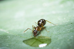 Ant drinking Royalty Free Stock Image