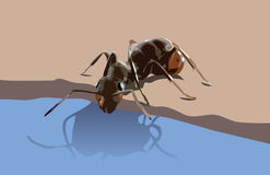 Ant drinking water. From a puddle Stock Photography