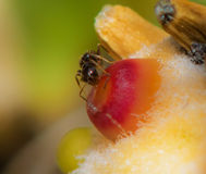 Ant Drinks Water From Top Of Red and Orange Cactus Bud Stock Photo