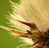 Ant walking on dry flower of milk thistle Stock Photos