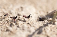 Ant on dry ground. macro. In the park in nature Stock Photo