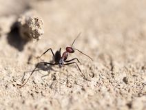 Ant on dry ground. macro. In the park in nature Royalty Free Stock Photos