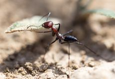 Ant on dry ground. macro. In the park in nature Royalty Free Stock Photo