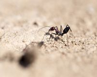 Ant on dry ground. macro. In the park in nature Stock Image