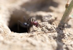 Ant on dry ground. macro. In the park in nature Stock Photos