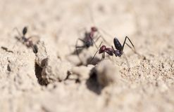 Ant on dry ground. macro. In the park in nature Royalty Free Stock Photography