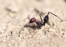 Ant on dry ground. macro. In the park in nature Royalty Free Stock Images