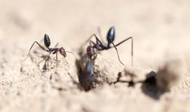 Ant on dry ground. macro. In the park in nature Royalty Free Stock Image
