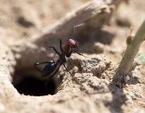 Ant on dry ground. macro. In the park in nature Stock Photography