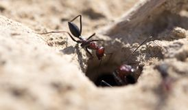 Ant on dry ground. macro. Photos in the studio Royalty Free Stock Images