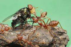 Ant eat flies. Closeup insect macro photography green ants stock photos
