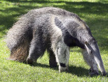 Ant eater Royalty Free Stock Images