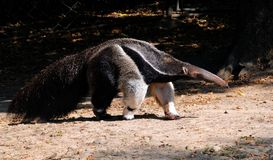Ant-eater Walking on the Ground Royalty Free Stock Photo