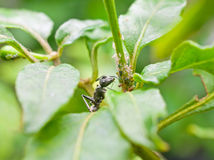 Ant eating aphids Stock Photos