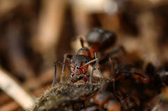 Ant eating bug. Royalty Free Stock Images