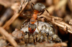 Ant eating bug. Top view Royalty Free Stock Images