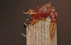Ant Eating Dates y azúcar imagen de archivo libre de regalías