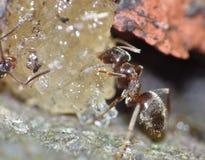 Ant Eating Dates y azúcar fotografía de archivo libre de regalías