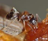 Ant Eating Dates y azúcar fotos de archivo