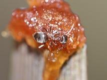 Ant Eating Dates y azúcar foto de archivo libre de regalías