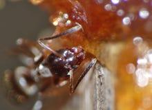 Ant Eating Dates y azúcar fotos de archivo libres de regalías