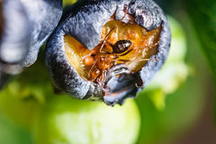 Ant Eating een Bosbes stock fotografie