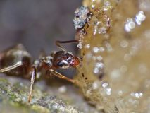 Ant Eating Food royaltyfria foton