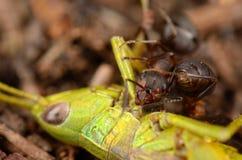 Ant eating green grasshopper. Royalty Free Stock Photo