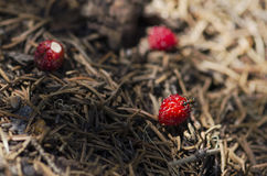 Ant eating over wild strawberry in an anthill Royalty Free Stock Photo