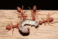Ant eating worm Stock Image