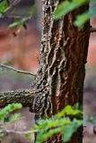 Ant On een Tamarindeboom Stock Foto's