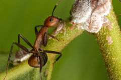 Ant with egg Royalty Free Stock Photography
