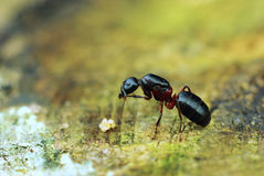 Ant with eggs. Macro,close-up shot Royalty Free Stock Photo