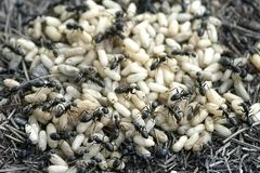 Ant and eggs Stock Image