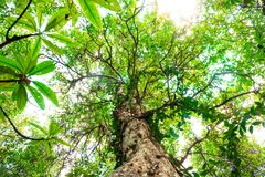 Ant eye view of Nyireh Batu tree or Xylocarpus granatum in mangrove forest background.forest and environment concept.  stock images
