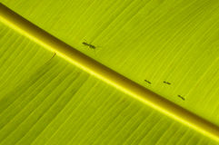 Ant family going bananas. Stock Photos