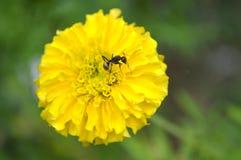 Ant feeding on dandelion flower Stock Photos