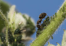 Ant feeding on the green fly. Royalty Free Stock Photo