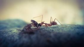 the ant royalty free stock images