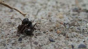 Ant fighting with a head of another ant Stock Image