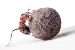 Ant fights with heavy stone Stock Photo