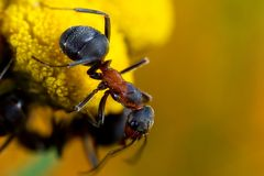 Ant on flower. A brown ant on a yellow flower Stock Photography