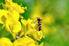 Ant with a flower. Brown ant with yellow flower Royalty Free Stock Photography