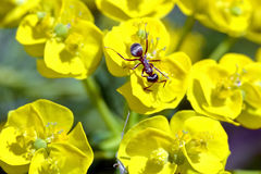 Ant with a flower. Brown ant with yellow flower Stock Photos