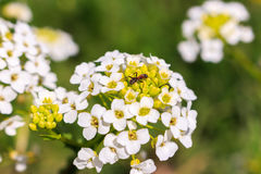 Ant on the flower. Royalty Free Stock Images