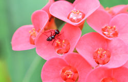 Ant on flower Royalty Free Stock Photography