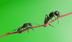 Ant follow ant Stock Image